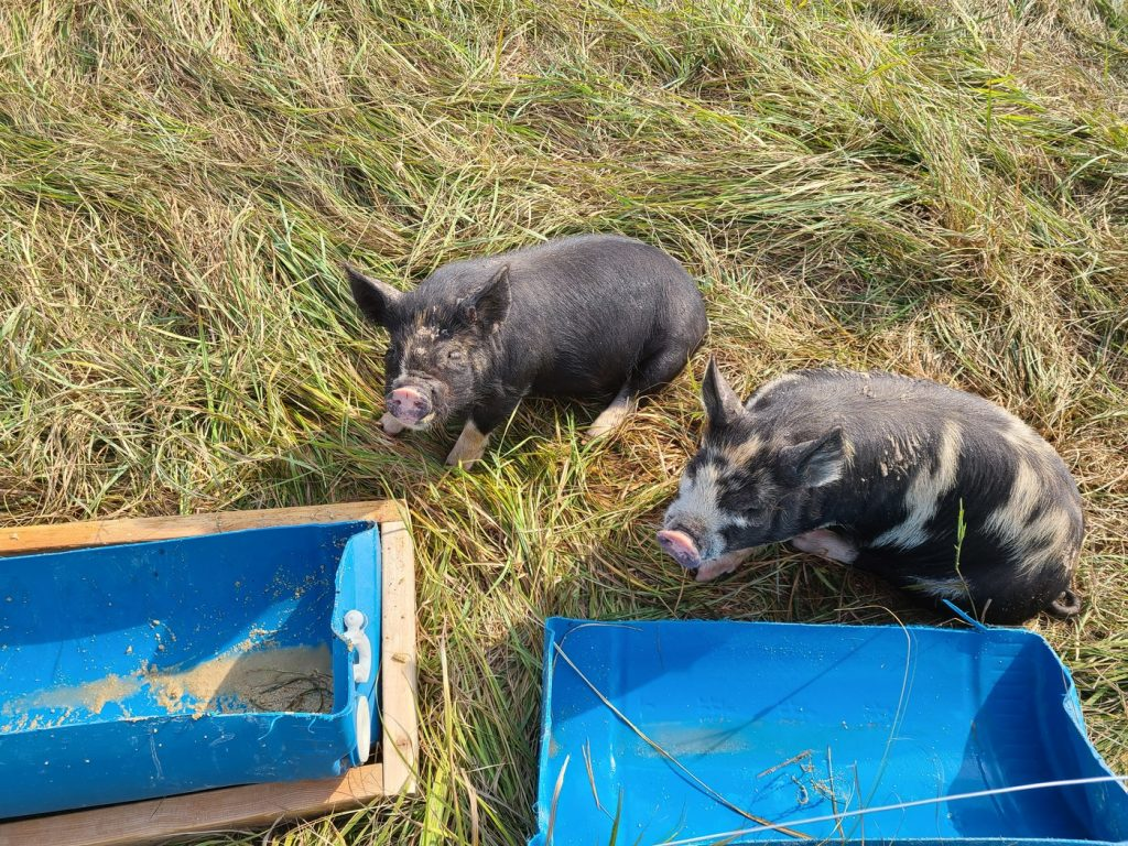 Our Idaho Pasture Pigs